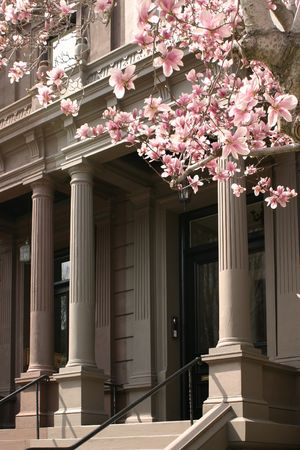 magnolias in bloom reaching over to columns on a Boston facade.
