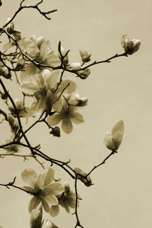 Magnolia Branch against the sky in sepia.
