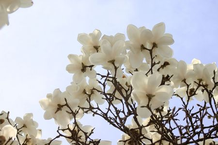 Cluster of white magnolias against the sky