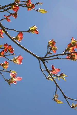 Dogwood tree branch in full bloom backlit and set against the sky