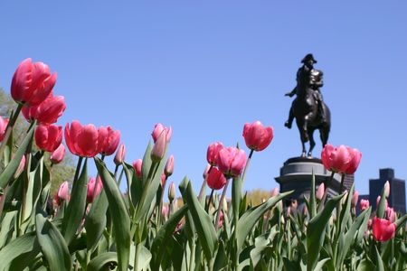 statuary garden: Pink tulips leaning toward a statue of George Washington on horseback in the Boston Public Gardens. Focus is selective to the foreground. Stock Photo