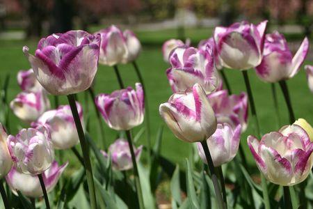 Purple-tipped tulips in the Boston Public Gardens 版權商用圖片