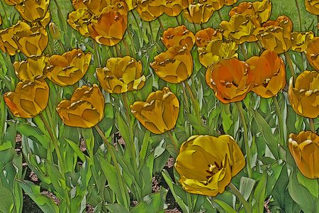 spring bed: illustration of a bed of yellow tulips in the sun Stock Photo