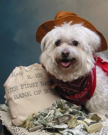 Maltese dog dressed as a cowboy
