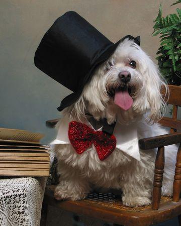Maltese dog dressed as a gentleman Reklamní fotografie