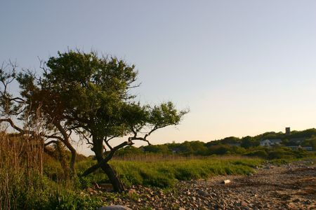crooked: crooked tree on a rocky beach