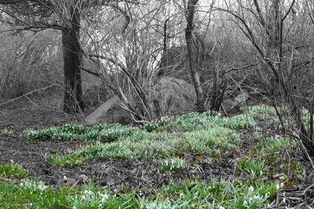 snowdrop flowers blooming in early spring