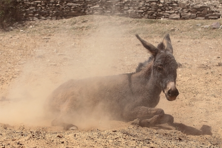 Donkey taking a sand bath photo
