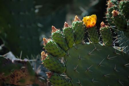 opuntia: Opuntia flowers