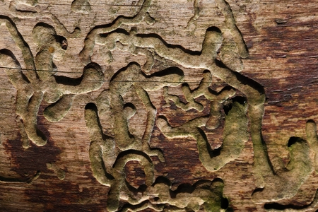 detrimental: Bark beetle traces in old wood