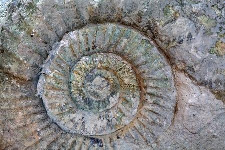 gondwana: Perisphinctes sp. Ammonite from the Upper Jurassic of Germany.