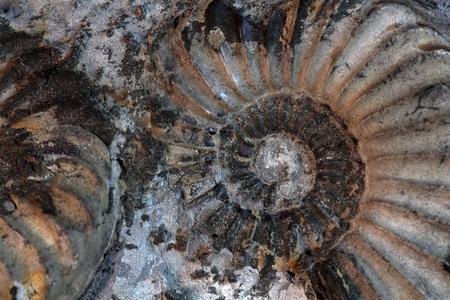 gondwana: Pleuroceras sp. Ammonite from the Lower Jurassic of Germany.