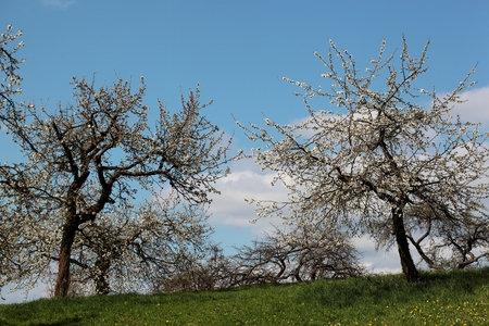 biologic: Cherry trees with blossoms in Spring.