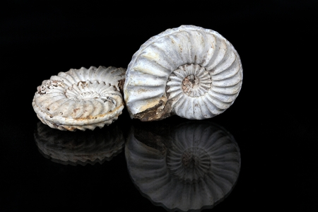 Ammonites (Pleuroceras sp. from the Lower Jurassic of Southern Germany) on a mirror and a black background.