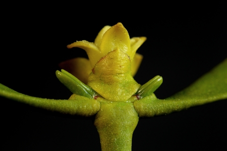 macro photography: Macro photography of a European mistletoe flower.