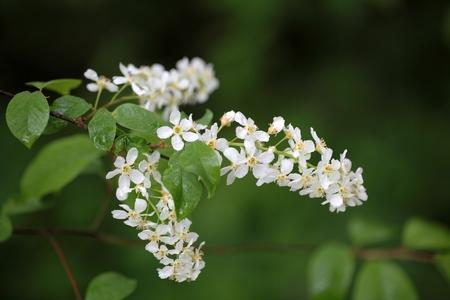 Flowers of a bird cherry tree Prunus Padus.
