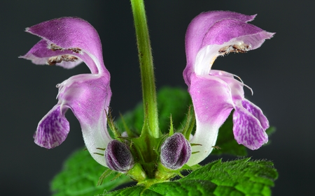 spotted: Spotted Deadnettle Lamium maculatum flowers. Stock Photo