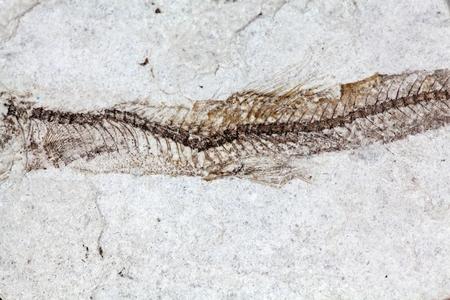 gondwana: Macro photo of a fossil fish backbone.