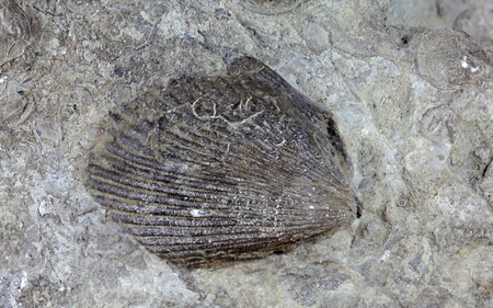 gondwana: A fossil shell from the Upper Triassic of Southern Germany. Stock Photo