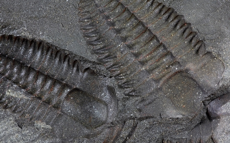 gondwana: Trilobites from of Cambrian age.