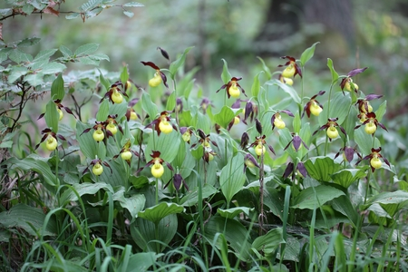 Ladys Slipper Orchids Cypripedium calceolus