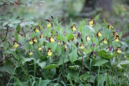 Ladys Slipper Orchids Cypripedium calceolus Stock Photo - 40327591