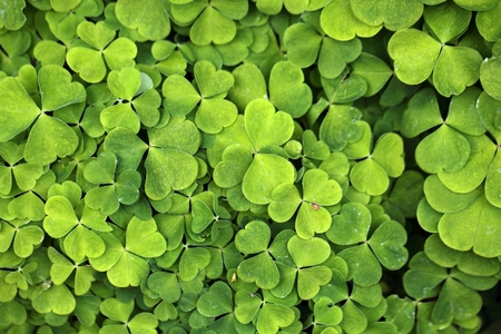 Leaves of common wood sorrel Oxalis acetosella. photo