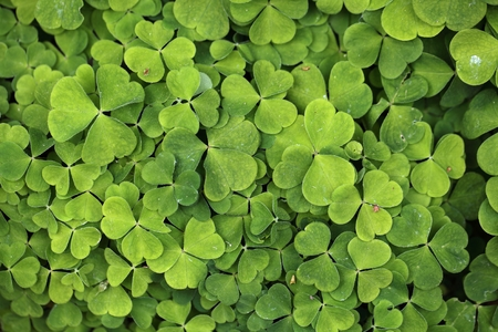 acetosella: Leaves of common wood sorrel Oxalis acetosella. Stock Photo