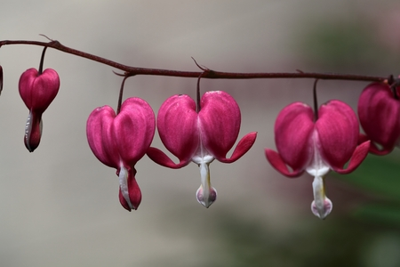 A macro photography of Bleeding Heart Flowers Lamprocapnos spectabilis. photo