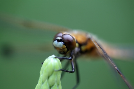 libellula: A macro photography of a four potted chaser Libellula quadrimaculata dragonfly.