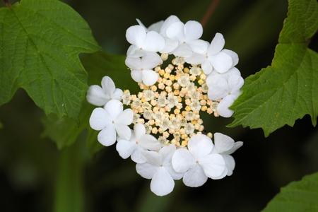 guelder rose: Flowers of a Guelder Rose bush (Viburnum opulus).