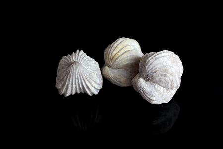 fossilized: Fossilized brachiopods from the Upper Jurassic of Great Britain.