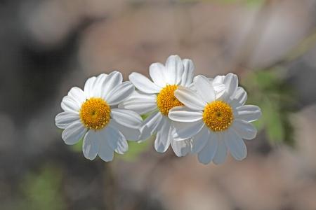 Een macrofotografie van bloemen moederkruid Tanacetum parthenium. Stockfoto