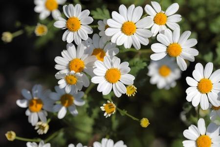 Een macro fotografie van bloemen feverfew moederkruid.