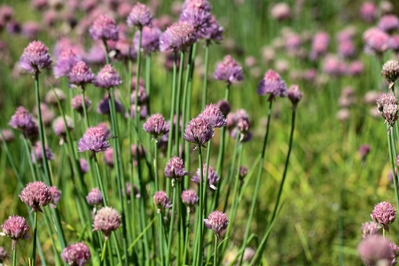 A macro photography of Chives flowers in a field. photo