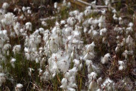 angustifolium: Flowers of Common Cottongrass at a moorland meadow.