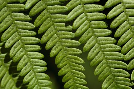 bracken: Macro photo of a bracken fern leaf Pteridium aquilinum