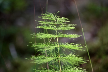 equisetum: A macro photo of Wood Horsetail Equisetum sylvaticum.