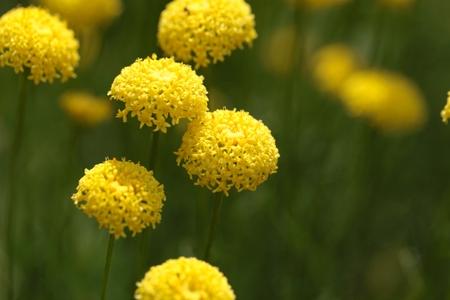 medical  plant: Flores de rosmarinifolia Santolina, una planta de medicina de la regi�n mediterr�nea.