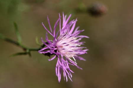 centaurea: Flowers of Brown Knapweed Centaurea jacea. Stock Photo