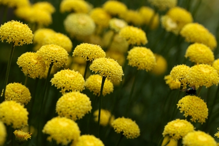 medical plant: Flowers of Santolina rosmarinifolia, a medical plant from the Mediterranean region.