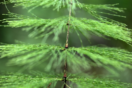 macro   photo: A macro photo of Wood Horsetail Equisetum sylvaticum.