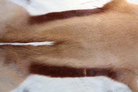 springbok: Springbok Antidorcas marsupialis a Coat of antelope as background.