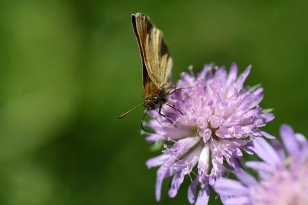 skipper: An Essex skipper, Thymelicus lineola on a flower. Stock Photo