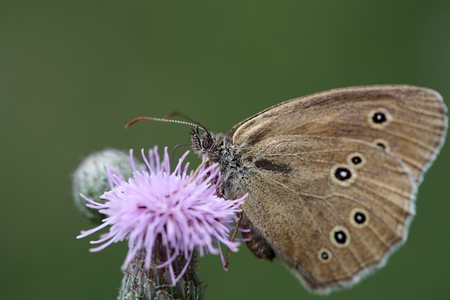 aphantopus: A Ringlet, Aphantopus hyperantus, on a flower. Stock Photo