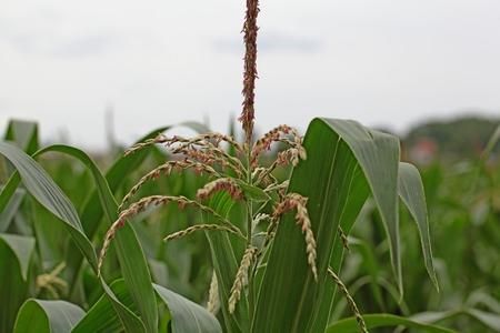 planta de maiz: Las flores masculinas de una planta de maíz. Foto de archivo