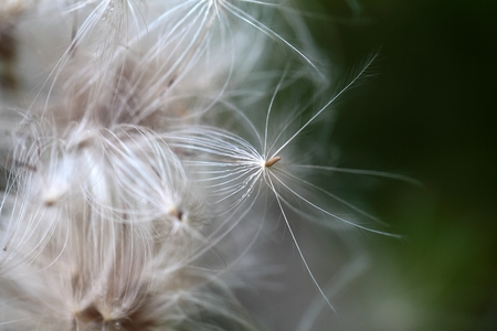pappus: A macro photo of thistle seed with pappus.
