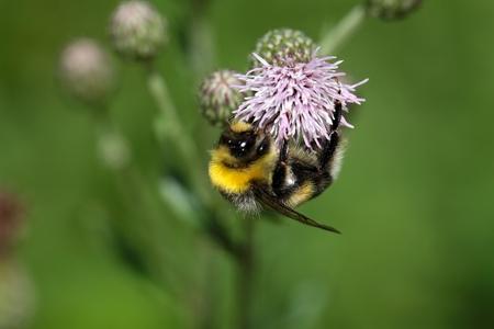 bombus: Macro photo of a Garden Bumblebee Bombus hortorum