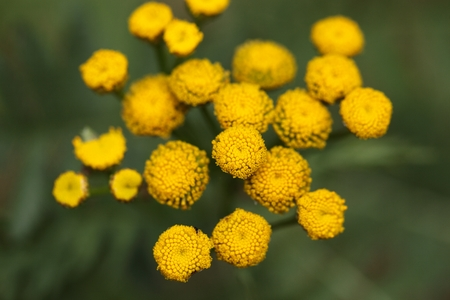 toxicity: Tansy Tanacetum vulgare flowers.