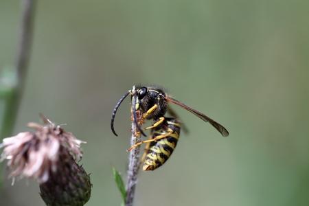 bombus: Macro photo of a Common Carder Bee Bombus pascuorum